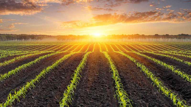 Sun rising over a cornfield.