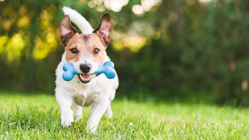 A dog playing fetch with a toy bone.