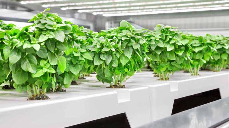 Plants growing in an Infarm set up.