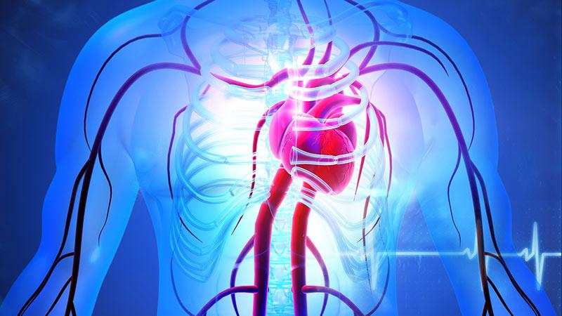 Human circulation cardiovascular system with heart anatomy.